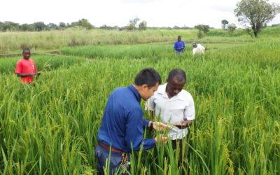 ザンビアで現地の稲研究員向けの技術研修